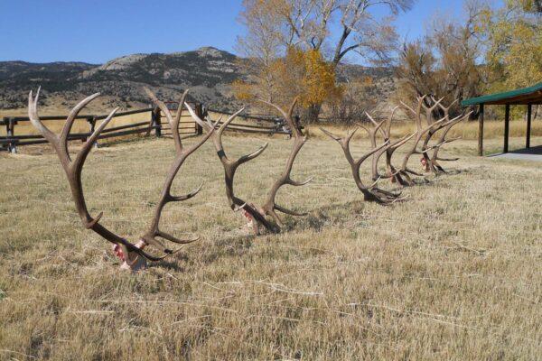 biggest-elk-rack-wyoming