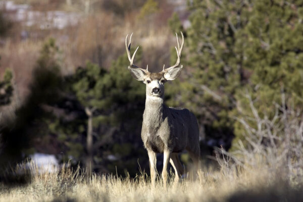 deer-buck-hunting-wyoming