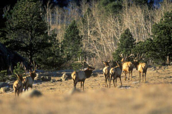 elk-herd-wyoming-hunting